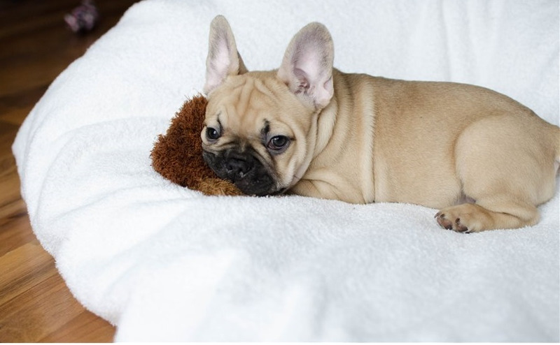 Animals - Akc registered French bulldog