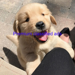 Golden  Retriever  Puppies  available  for  sale