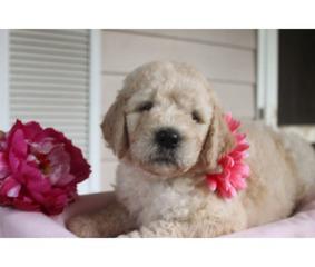 F2 English Cream Goldendoodle puppies
